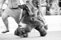 Afghan Hound, Dog Show, Milan, Horses, Dogs, Photography, Animals, Photograph, Animales