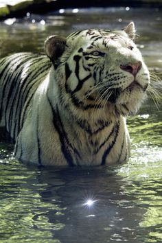 Damp tiger