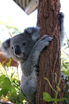Koalas at Taronga Zoo Two Koala joeys have become 'tree-mates' at Taronga Zoo, snacking, sniffing and snoozing side-by-side since moving away from their mothers...