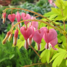 Gold Heart Dicentra