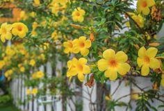 Alamanda – Talvez seja o mais belo arbusto para muros devido a seus ramos floridos. A alamanda tem flores amarelas e precisa de sol. É reproduzida pelos próprios galhos e é ideal para clima quente e úmido. Deve-se ter atenção a esta planta porque é considerada tóxica