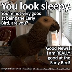 Early bird is serious business. You are not a bird, so this can be annoying. Parrot Toys, Parrot Bird, Funny Birds, Cute Birds, Senegal Parrot, Feathered Dinosaurs, Funny Parrots, African Grey Parrot, Cockatiel