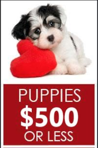 Copper - Bernese Mountain Dog Mix Puppy for Sale in Blairsville, PA | Lancaster Puppies Cavapoo Puppies For Sale, Mini Puppies, Cockapoo Puppies, Yorkie Puppy, Little Puppies, Mini Goldendoodle, Dogs And Puppies, Teacup Poodle Puppies, Micro Teacup Puppies
