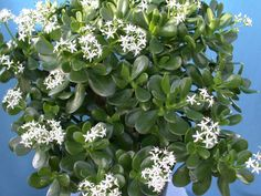 Jade Plant for Good Luck, Prosperity and Friendship - See more at: http://worldofsucculents.com/jade-plant-for-good-luck-prosperity-and-friendship