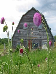 barn & thistle flowers.
