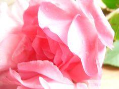 RRózsaszörp, rózsaszirom szirup