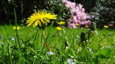 It's the official first day of spring, the Equinox. One of my favorite spring tonics includes dandelion and burdock roots with the sweetness of red clover. Organic Gardening, Gardening Tips, Organic Plants, Eating Dandelions, Kill Weeds Naturally, Old Farmers Almanac, Salud Natural, Dandelion Flower, Weed Killer