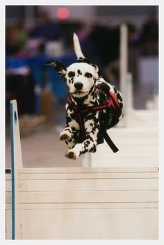 Flying Dalmatian #3 by MyNeChimKi, via Flickr