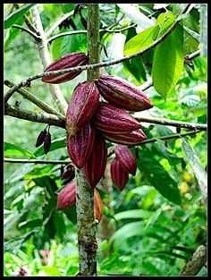 Did you know that raw cacao benefits human longevity and health without negative side effects? http://www.secrets-of-longevity-in-humans.com/raw-cacao-benefits.html