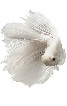 PetSmart offers quality products and accessories for a healthier, happier pet. Pretty Fish, Beautiful Fish, Animals Beautiful, Beautiful Pictures, Aquarium Aquascape, Betta Aquarium, Jellyfish Aquarium, Koi Betta, Betta Fish Tank