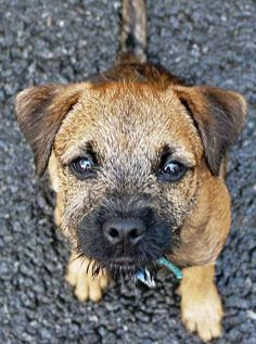 Tony the Border Terrier Pictures 1199
