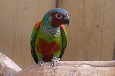 Conuro dalle orecchie bianche, Pyrrhura leucotis, Maroon-faced Parakeet