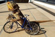 Pringle le dragon barbu - http://www.2tout2rien.fr/pringle-le-dragon-barbu/