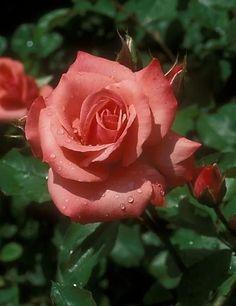 Rose City Of Leeds - Salmon-Pink. Orange Salmon - Floribunda Rose - Mild Fragrance - Bred By Samuel Darragh Mcgredy Iv 1962 My Flower, Pretty Flowers, Colorful Flowers, Romantic Roses, Beautiful Roses, Orange Roses, Pink Roses, Foto Rose, Ronsard Rose