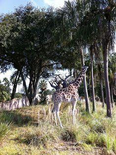 Animak Kingdom Safari giraffe at Disney   #Disney