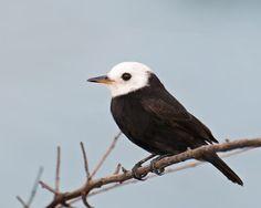 freirinha_arundinicola leucocephala Brazilian Birds