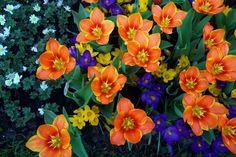 Amsterdam....amazing Tulip gardens. Amsterdam Tulips, Tulips Garden, Gardens, Amazing, Flowers, Plants, Outdoor Gardens, Plant, Royal Icing Flowers