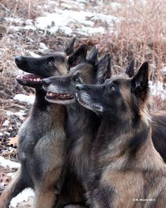 Most Inspiring Cuby Chubby Adorable Dog - a4e79c40f80ed52aa8d5d076464b295a--belgian-tervuren-belgian-shepherd  Pic_205035  .jpg