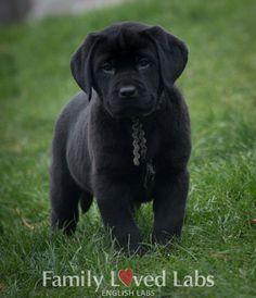Black English Lab Puppy - AKC registered English Lab Puppies