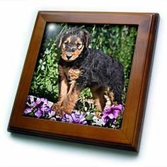 "An Airedale puppy dog on a small rock - US32 ZMU0018 - Zandria Muench Beraldo - 8x8 Framed Tile by 3dRose. $22.99. Inset high gloss 6"" x 6"" ceramic tile.. Cherry Finish. Keyhole in the back of frame allows for easy hanging.. Solid wood frame. Dimensions: 8"" H x 8"" W x 1/2"" D. An Airedale puppy dog on a small rock - US32 ZMU0018 - Zandria Muench Beraldo Framed Tile is 8"" x 8"" with a 6"" x 6"" high gloss inset ceramic tile, surrounded by a solid wood frame with pre-drilled k..."
