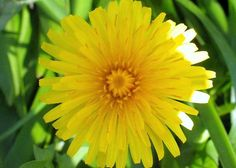 dandelion  bright  photograph by paradisereal on Etsy, $24.00