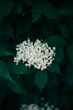 Elderflowers by Call me cupcake