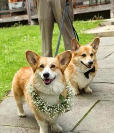 Adorable corgis at their parents' wedding!
