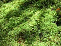 白谷雲水峡のヒロハヒノキコケ
