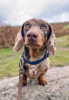 Dachshund Puppies, Dachshund Love, I Love Dogs, Cute Dogs, Sausage Dogs, Wiener Dogs, Young People, Poodle, Alaska