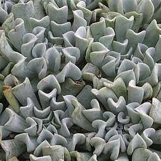 Echeveria runyonii 'Topsy Turvy'atSan Marcos Growers