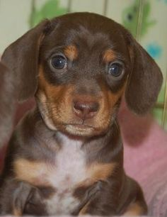 Miniature, short-haired, chocolate and tan Dachshund puppy! My dream dog! ♥ Miniature, short-haired, chocolate and tan Dachshund puppy! My dream dog! Dachshund Funny, Dachshund Puppies For Sale, Mini Dachshund, Cute Puppies, Cute Dogs, Daschund, Puppy Pictures, Animal Pictures, Weenie Dogs
