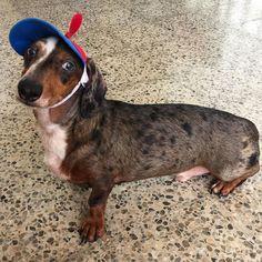 I hope my pose can put a smile in your face. Happy Monday!  #doubledapple #blueeyes #dog #dachshund #doxieobsessed #doxiefever #featuremydoxie #doxie #dachshundsunited #bassotto #salchicha #teckel #dackel #wienerdog #ween #weenteam #weeniedog #pet ============================ FOLLOW MY PAWTNERS:  @duke_of_fergus @bellathedoxie @dappleccino @enzo_dachshund @jesse_jamesdachshund @bobmarley_dachshund @giuseppe.the.doxie by yogi_doxie