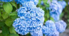 Hortenzie Types Of Hydrangeas, Hydrangea Varieties, Hydrangea Colors, Hydrangea Care, Hydrangea Flower, Hydrangea Macrophylla, Smooth Hydrangea, Cottage Garden Plants, Gardens