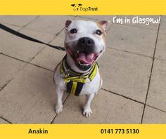 Anakin at Dogs Trust Glasgow is a cheeky wee chap who is super clever. He loves a treat for learning something new. He just loves meeting people and almost smiles when he does. Dogs Trust, Save Life, Glasgow, Just Love, Dogs And Puppies, Pitbulls, Clever, Adoption, Homes