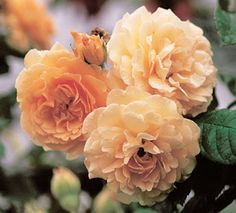 Buff Beauty - hybrid musk with Noisette heritage; very double flowers of muted apricot; fragrant repeat blooms; 5-7 feet