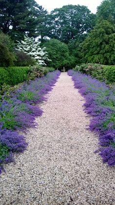 Catmint as path border at driveway A Visit to Planting Fields Arboretum #landscapefrontyarddriveway