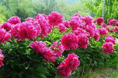 Nagyon hasznos tudnivalókat gyűjtöttünk össze egy csodálatos növényről. Nekem az egyik legnagyobb kedvencem, ismerd meg közelebbről te is a pünkösdi rózsát.
