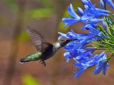 A Black-chinned Hummingbird enjoying a Lily of the Nile.  I have the pleasure of enjoying this sight in person every day in May!