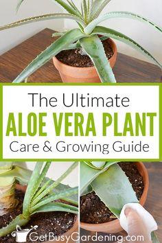 Aloe Plant Care, Aloe Vera Plant Indoor, Indoor Plants, Propagate Aloe Vera, Aloe Vera Care, Growing Aloe Vera, Household Plants, Banana Plants, Gardens