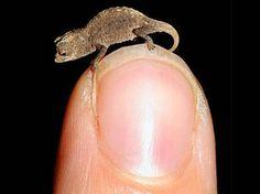 5 dos menores e mais raros animais do mundo