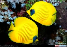 Yellow butterflyfish  in Red Sea