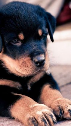 ....The 5 most expensive dog breeds in the world......Rottweiler are intelligent, patient, energetic and obedient dog breeds. The price of this brave and intelligent dog breed ranges from $2500-$7000. They are also self protective and self confident.