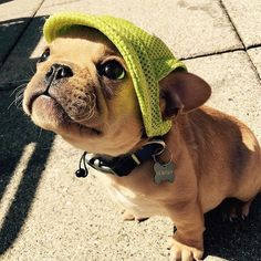 SUN PROTECTION IS VERY IMPORTANT  ➡️ photo by @watson_thefrenchie ‼️tag #ig_bullys for the chance to be featured‼️