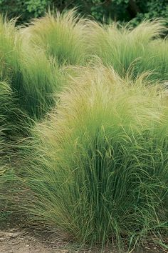 TX plants Shorter grass plant, very tough.  Nassella Stipa tenuissima_mexican_feathergrass_native_plants_of_texas_landscape_designer_austin