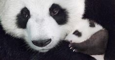 Pandas, Monkeys, and Leopards, Oh My! Watch the First Trailer for 'Born in China' Animals And Pets, Baby Animals, Cute Animals, Born In China Movie, Disney Documentary, Monkey Kingdom, Panda Day, Disney Movies Anywhere, Funny Cat Videos