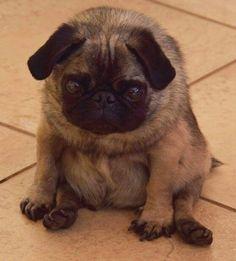 Round pug so cute                                                                                                                                                      More