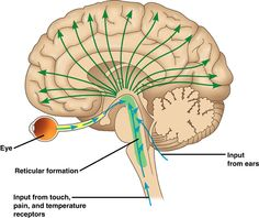 Reticulur Formation. The reticular formation is a region in the brainstem that is involved in multiple tasks such as regulating the sleep-wake cycle and filtering incoming stimuli to discriminate irrelevant background stimuli. It is essential for governing some of the basic functions of higher organisms, and is one of the phylogenetically oldest portions of the brain.