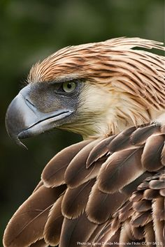 With their piercing blue eyes and prominent beak, the Philippine Eagle is among the rarest and most powerful birds on … Beautiful Birds, Animals Beautiful, Philippine Eagle, Animals And Pets, Cute Animals, Largest Bird Of Prey, Eagle Painting, Tier Fotos, Birds Of Prey