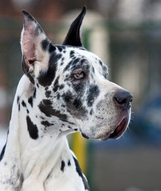 10 Cool Facts About Great Danes - Dogs Tips & Advice   mom.me
