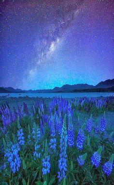 Midnight Blue - Lupins and Stars at Lake Tekapo, New Zealand #laketekapoNZ